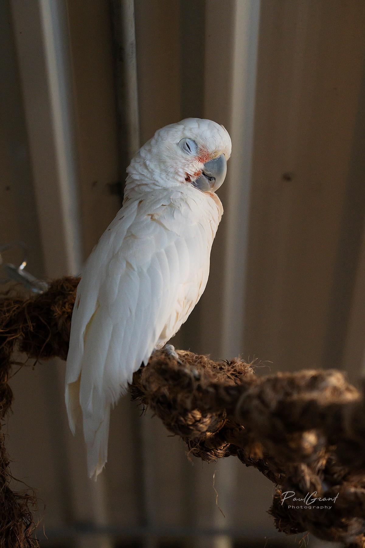 Sammi - Goffin's Cockatoo