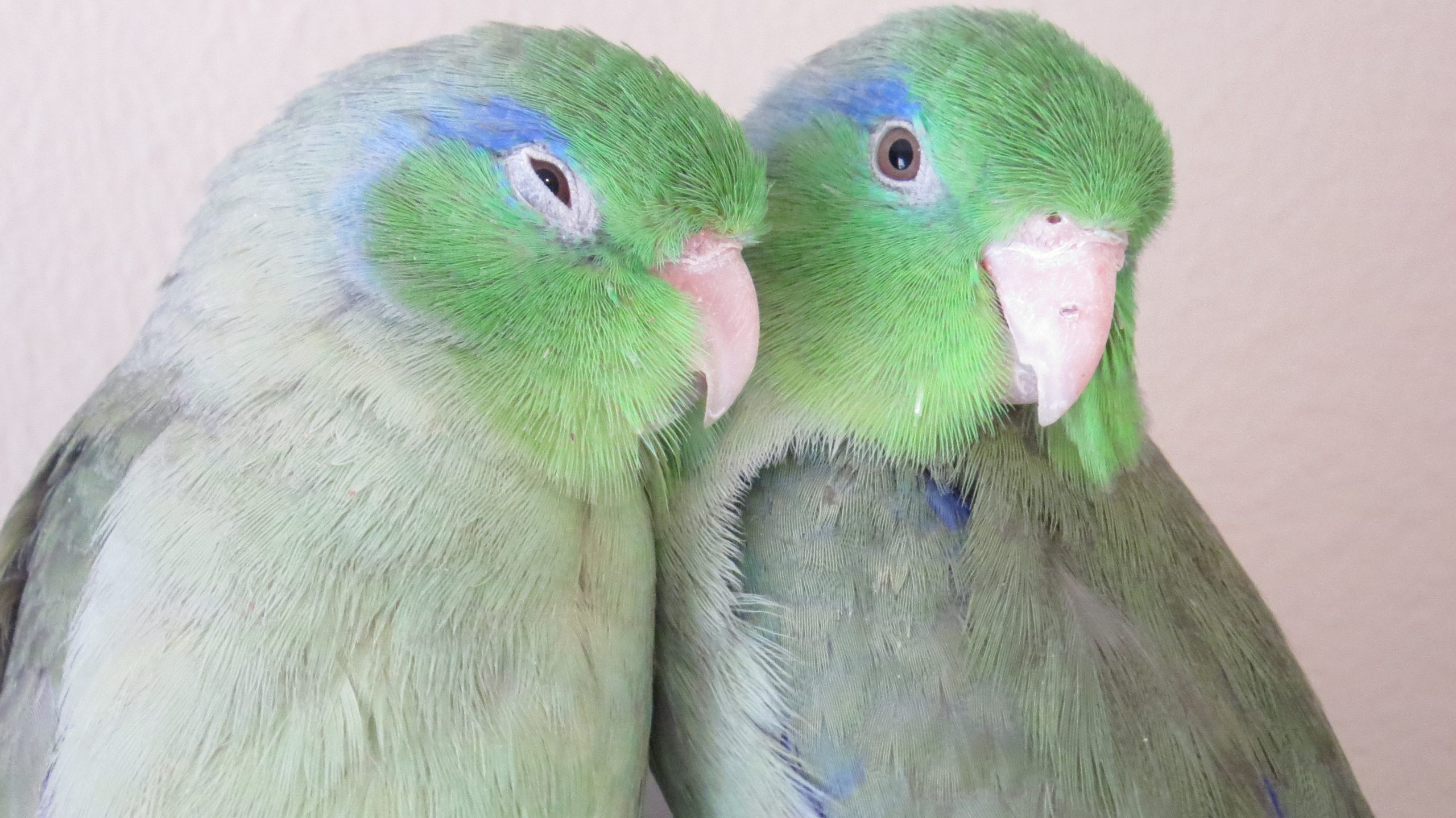 Tango and Echo (parrotlets)